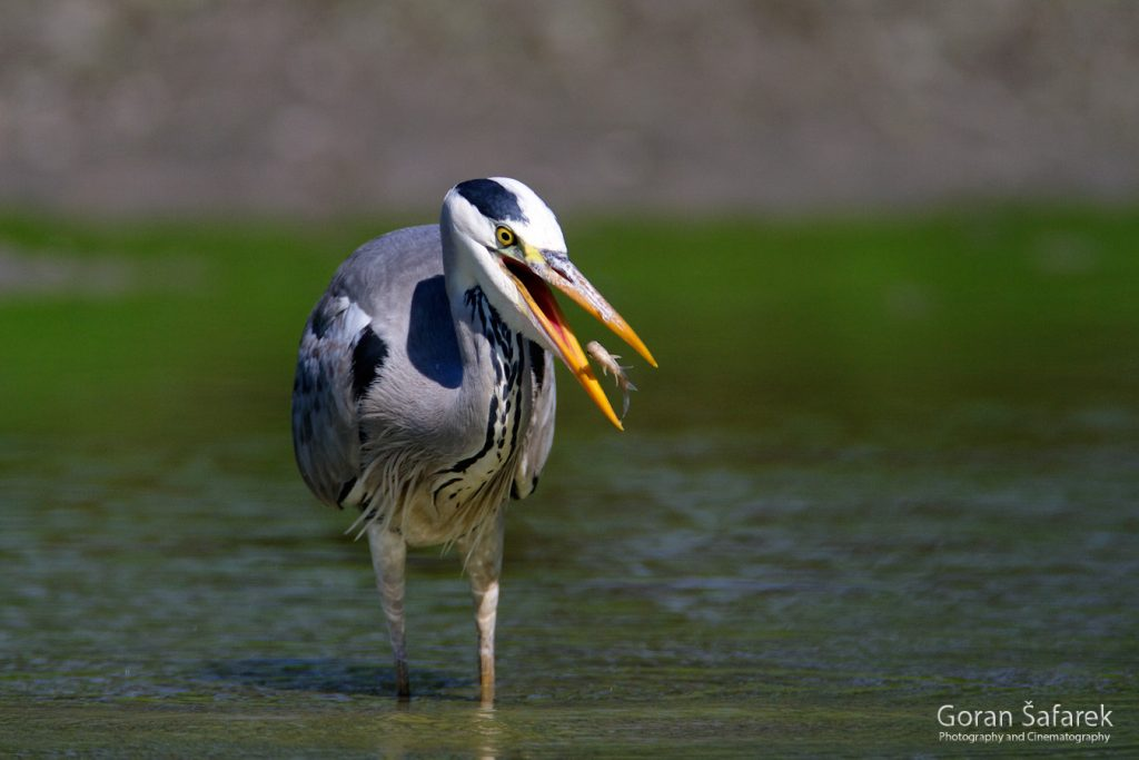 grey heron, birds, anmals, wildlife, danube, floodplain, river, croatia, forest