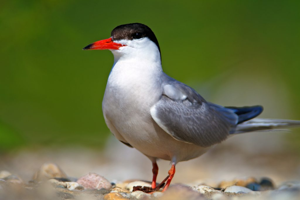common tern, sterna, river, gravel bar, drava