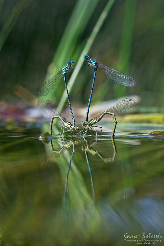 mrežnica, mreznica, river, karlovac, canyon, waterfalls, croatia, damselfly, mating