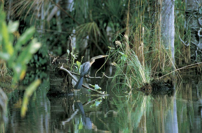 amazon, flooded forest, anhinga, birds, varzea