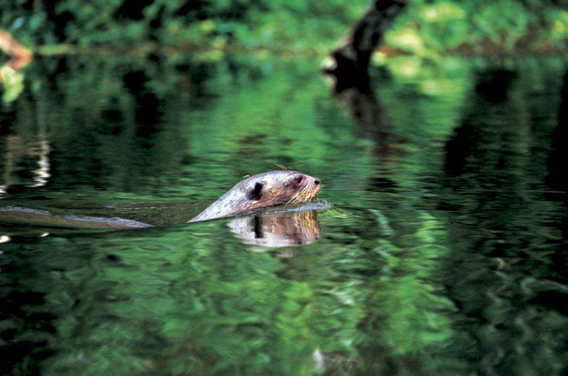 Giant otters, Pteronura brasiliensis