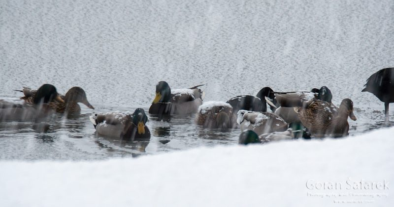 birds, winter, lake, ice, snow, cold, backwaters, rivers
