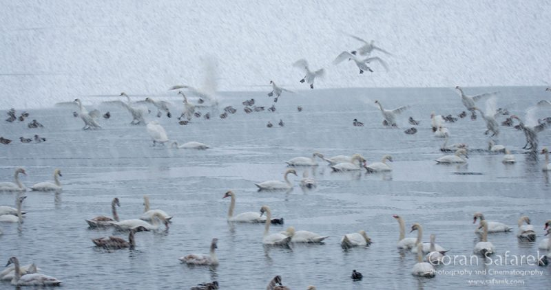 birds, winter, lake, ice, snow, cold, backeaters, rivers, swan
