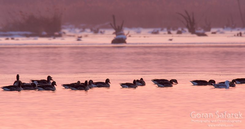 wintering, birds, rivers, ice, cold, snow, , ducks, sunset
