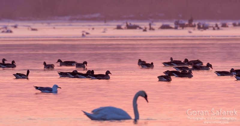 wintering, birds, rivers, ice, cold, snow, , swan