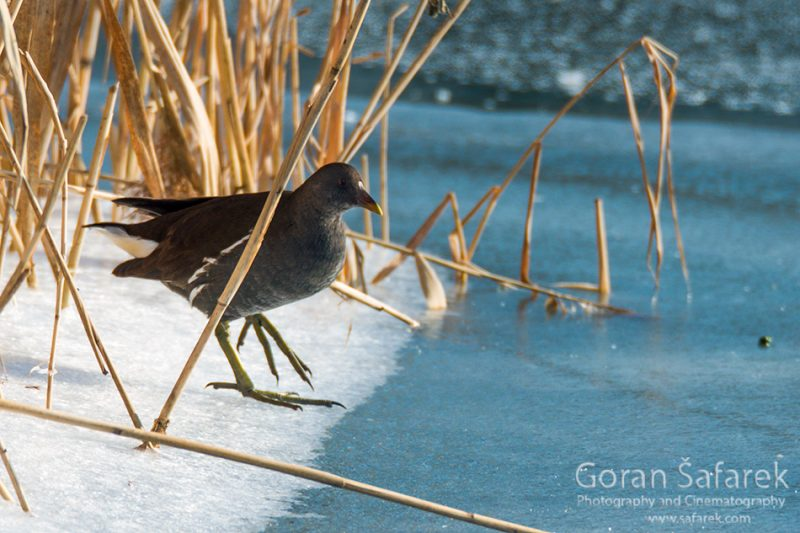 wintering, birds, rivers, ice, cold, snow, , moorhen