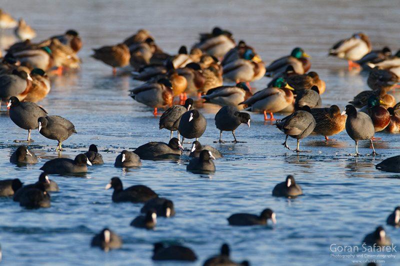 wintering, birds, rivers, ice, cold, snow, coot, mallard,