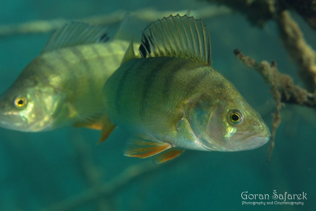 underwater, oxbow lake, backwater, diving, Perca fluviatilis, European perch