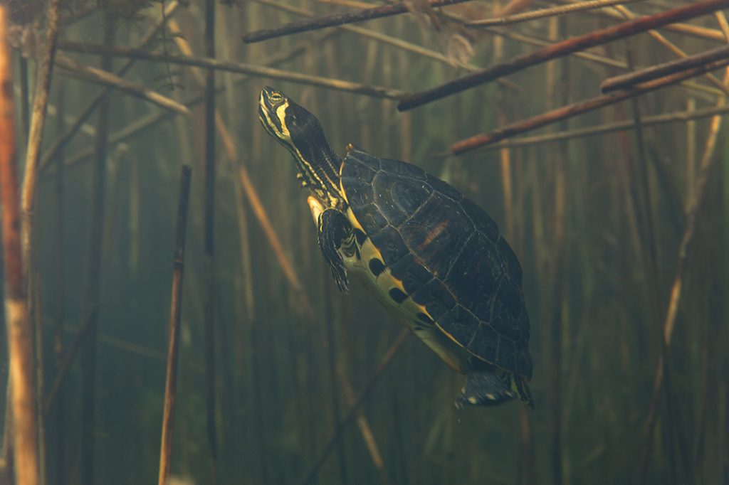 underwater, oxbow lake, backwater, diving, The pond slider, Trachemys scripta