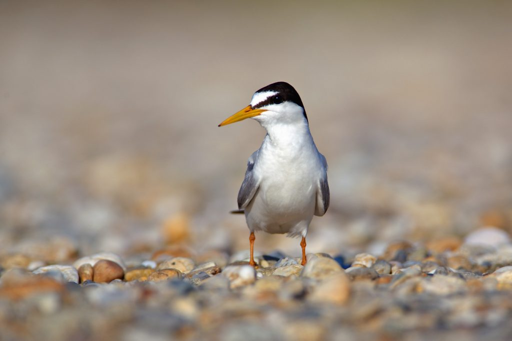 The little tern, Sternula albifrons, river bar, pebble, sediment