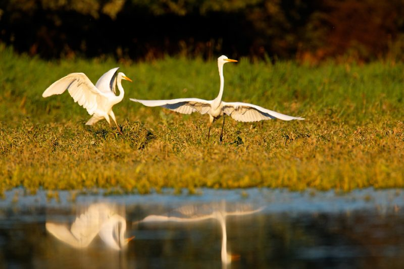 egrets, ecosystem services, rivers, biodiversity