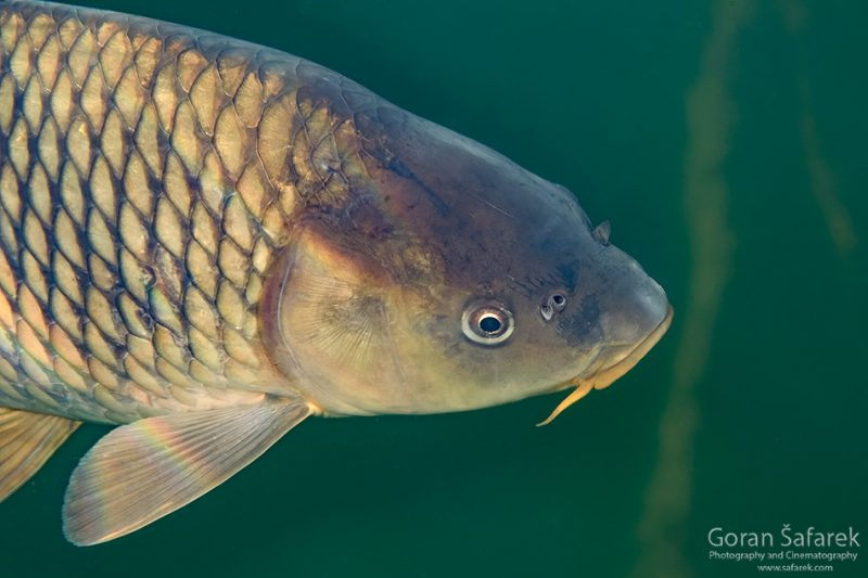 underwater, oxbow lake, backwater, diving, The common carp or European carp, Cyprinus carpio