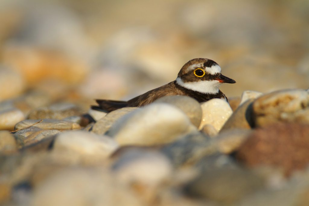 The Little Ringed Plover, Charadrias dubius,gravel bar, drava