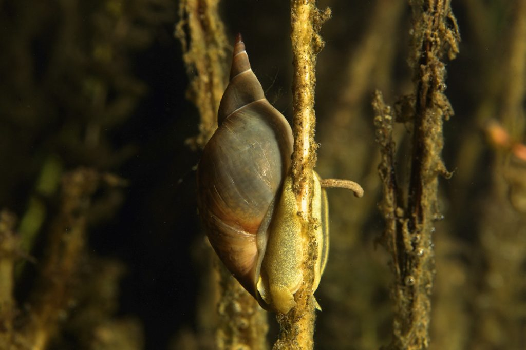 underwater, oxbow lake, backwater, diving, freshwater snail