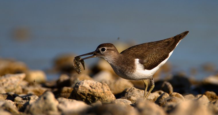 The common sandpiper (Actitis hypoleucos)