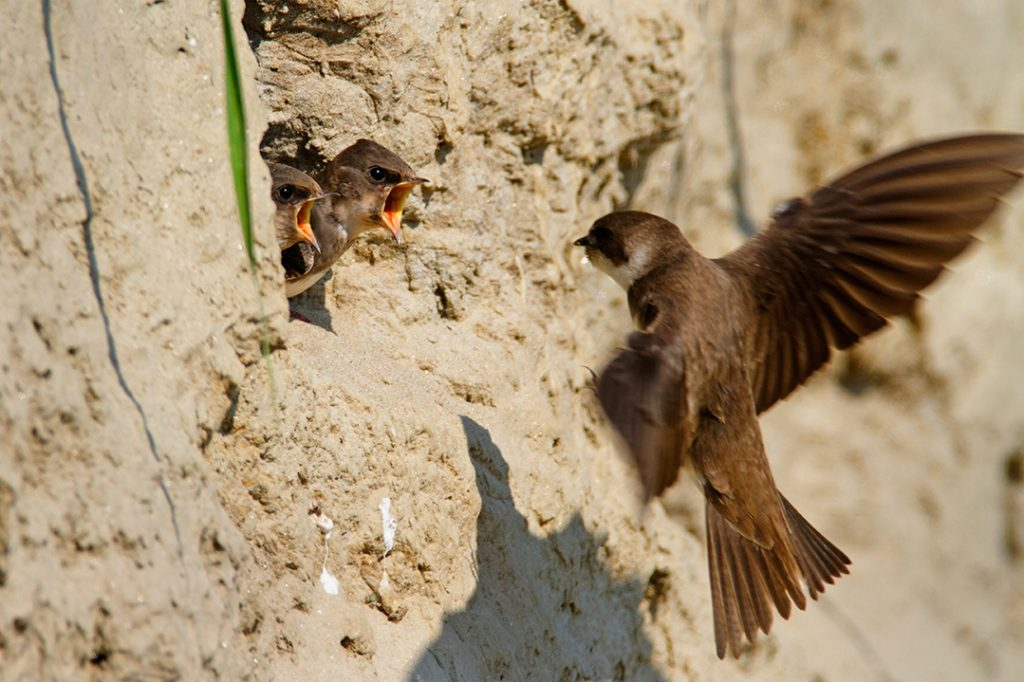 Sandmartin, Riparia riparia, nest, chick, offspring, feeding meal, rivers, steepbank, eroded, high