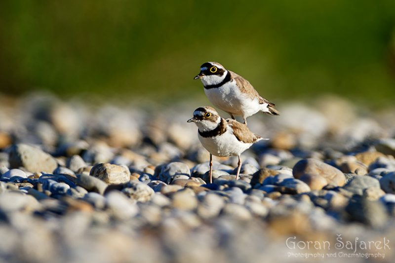 The little ringed plover, Charadrius dubius, nest, nesting, gravel, bar, pebble, river, mating, copulation
