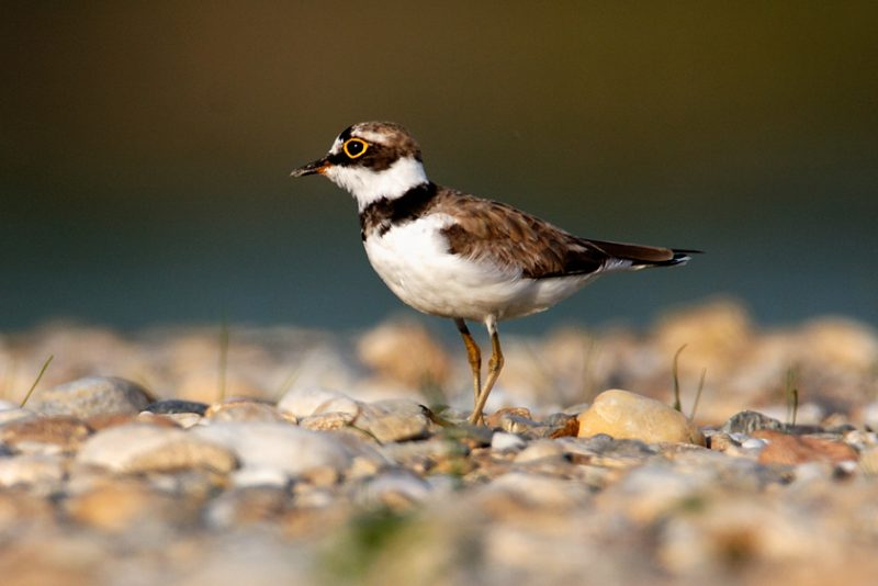 The little ringed plover, Charadrius dubius, nest, nesting, gravel, bar, pebble, river