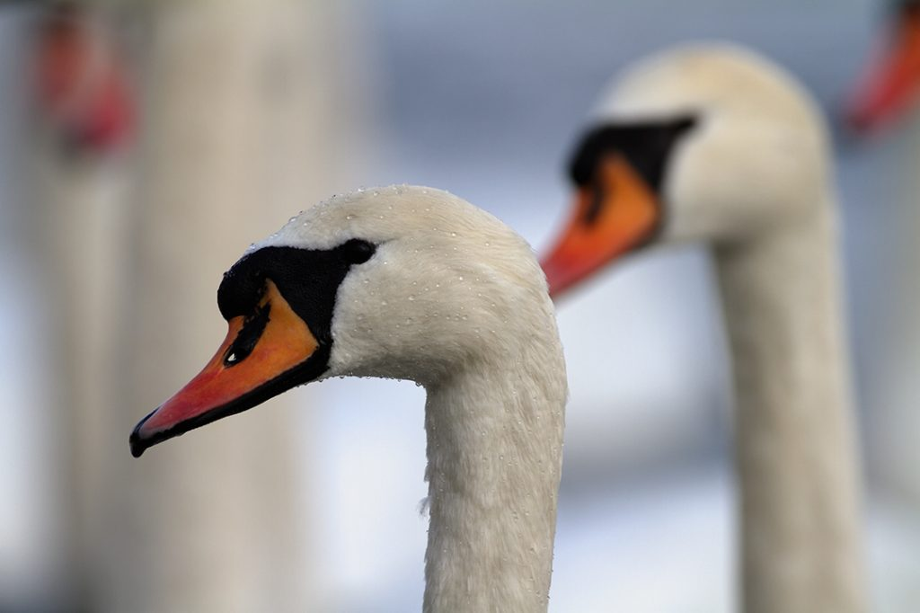 birds, winter, lake, ice, snow, cold, backwaters, rivers, swan