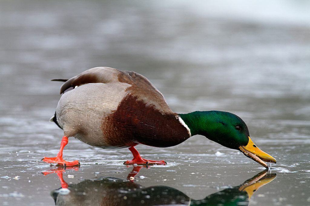 duck,wintering, birds, rivers, ice, cold, snow