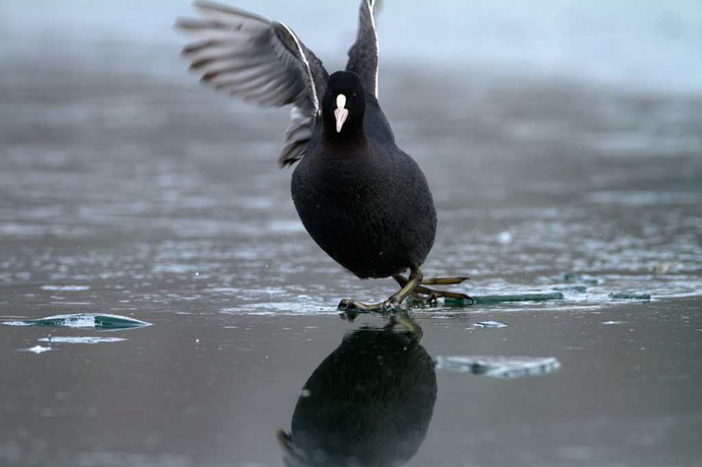 birds, winter, lake, ice, snow, cold, backwaters, rivers, coot