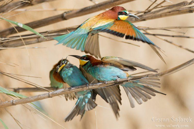 The European bee-eater, Merops apister