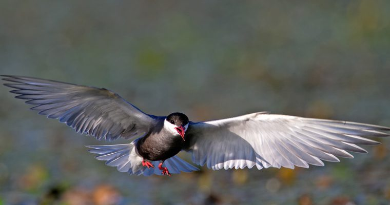 The whiskered tern – breeding in the backwaters