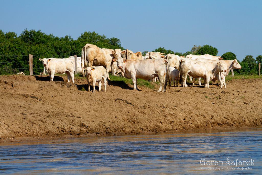 france, allier, loire, river, cow