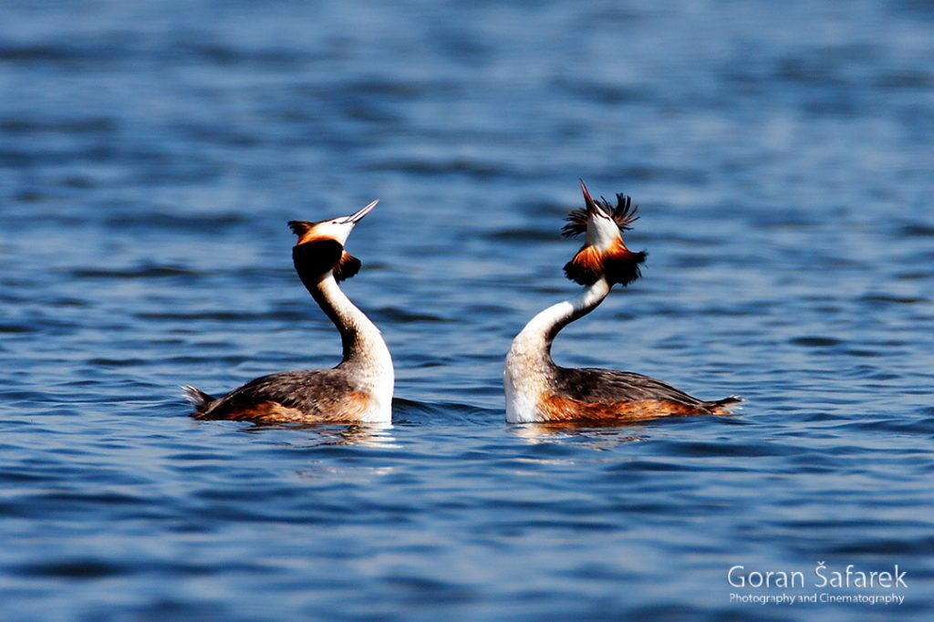 The great crested grebe, Podiceps cristatus, rivers, birds, wetland, lake, dance
