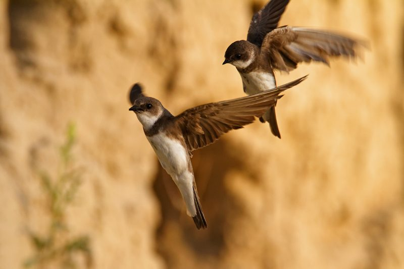 The Sand Martin (Riparia riparia) – dweller of the steep river banks