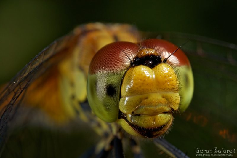 Dragonflies and damselflies – ancient flyers