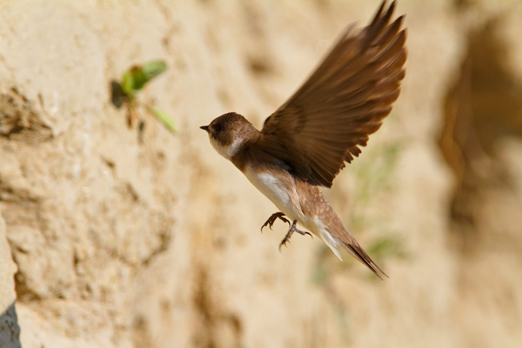 The Sand Martin, Riparia riparia,. steep river banks, rivers