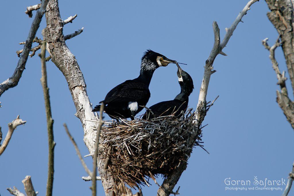 the great cormorant, Phalacrocorax carbo, birds, rivers, nesting, colony