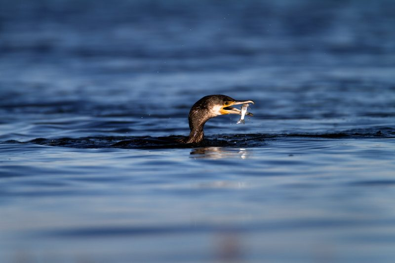 The great cormorant – the great fisherman