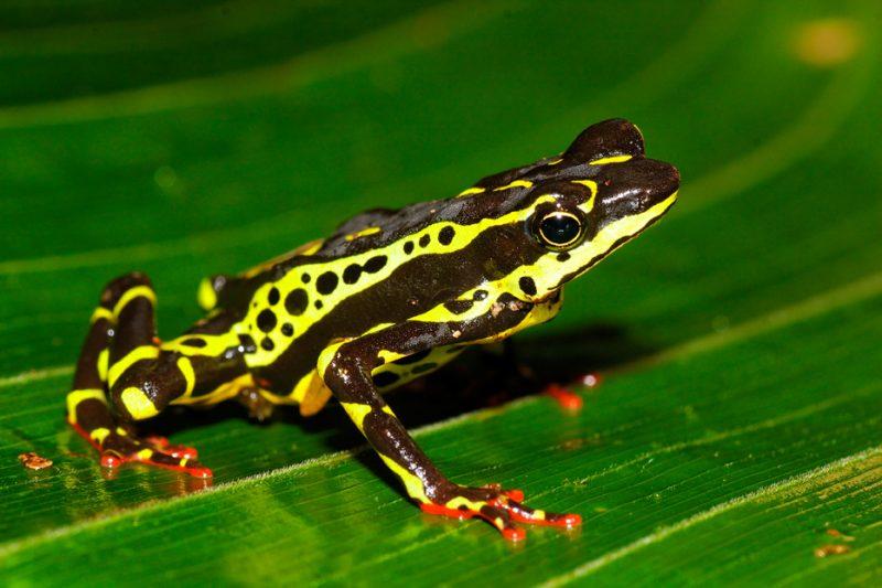 Zanja Arajuno, Andes, foothills, ecuador, rainforest, tropical, puyo, atelopus, toad, frog, harlequin