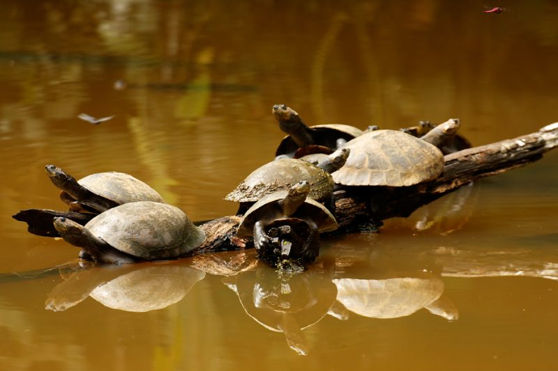 Zanja Arajuno, Andes, foothills, ecuador, rainforest, tropical, puyo, turtle, terrapin, backwater