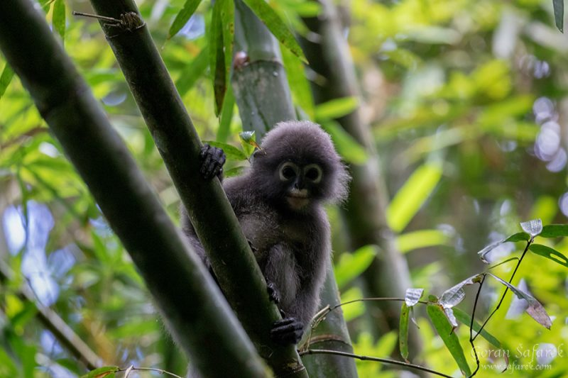 Spectacled Langur, Trachypithecus obscurus