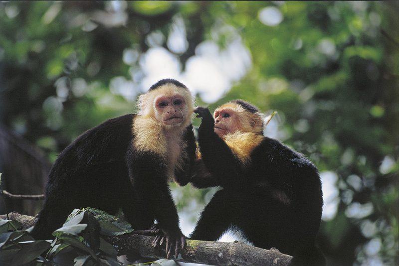 Tortuguero , costa rica, monkey, capuchin
