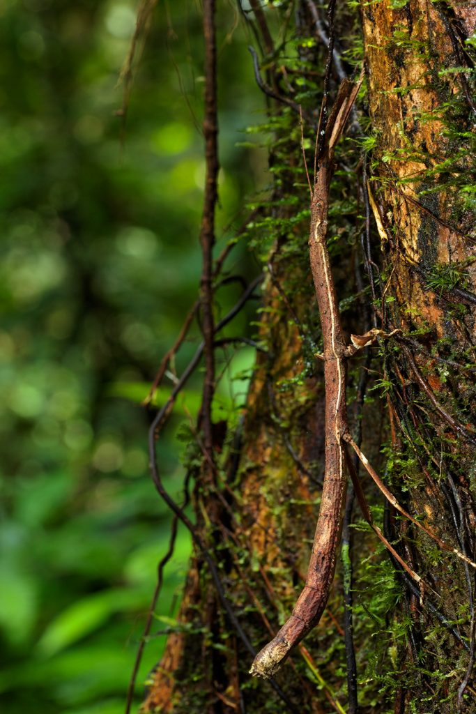 Mulu National Park, Borneo, Malaysia, rainforest, jungle, stick insect