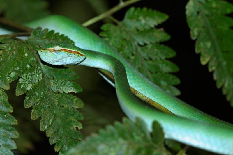 Mulu National Park, Borneo, Malaysia, rainforest, jungle, viper, snake