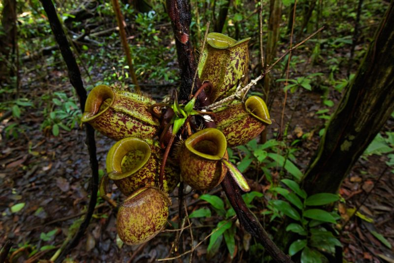 Mulu National Park, Borneo, Malaysia, rainforest, jungle, pitcher plant