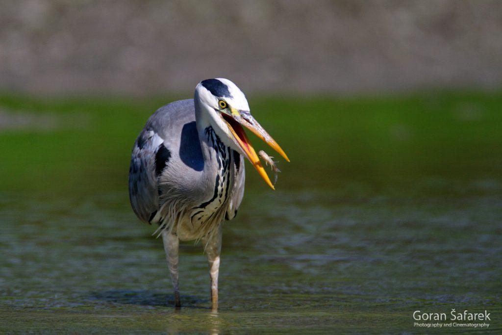 grey heron, birds, anmals, wildlife, danube, floodplain, river, croatia, forest