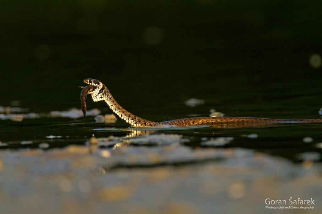 grass snake, natrix natrix, prey, hunt, kopački rit, danube, river, floodplain