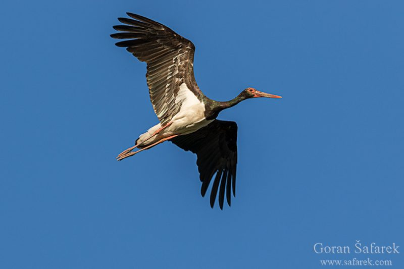 kopački rit, danube, river, floodplain, black stork, ciconia nigra
