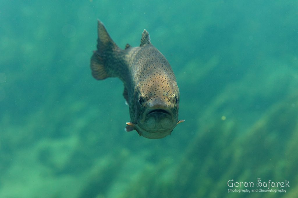 trout, river, fish, rainbow trout