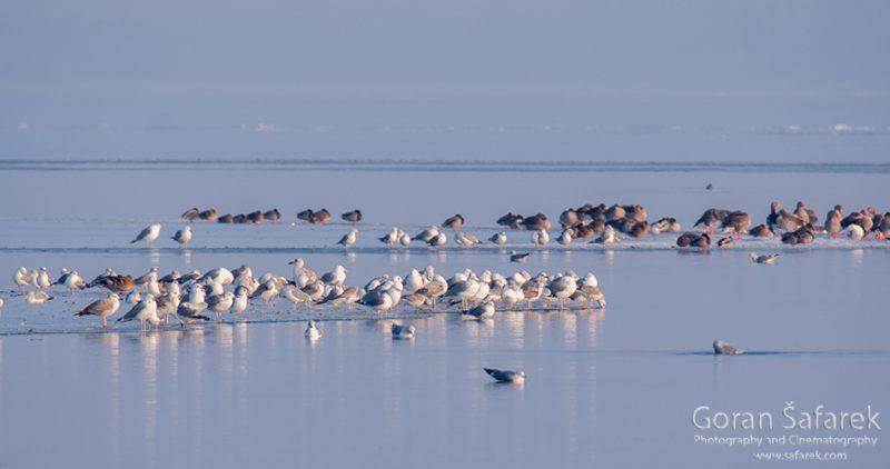 wintering, birds, rivers, ice, cold, snow, gulls