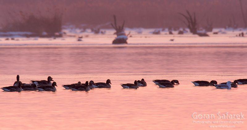wintering, birds, rivers, ice, cold, snow, , ducks, sunset