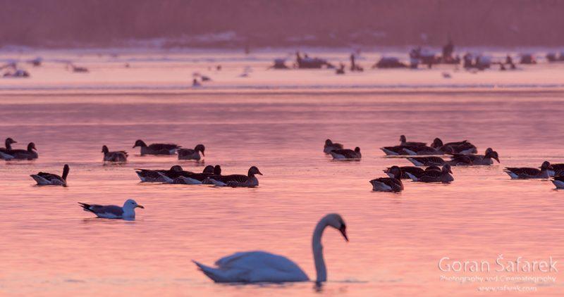 wintering, birds, rivers, ice, cold, snow, , swan