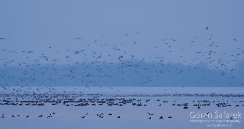 wintering, birds, rivers, ice, cold, snow, twilight, geese, duck, swan