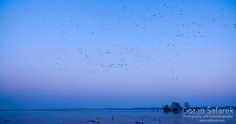 wintering, birds, rivers, ice, cold, snow, , geese, swan